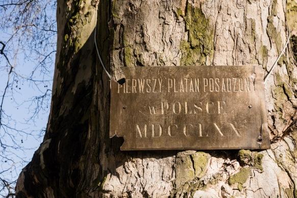 Poland's first Plane tree